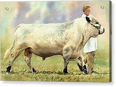 British White Bull Acrylic Print by Anthony Forster