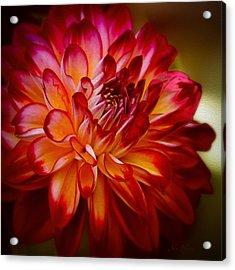 Brittany Red Dahlia Acrylic Print