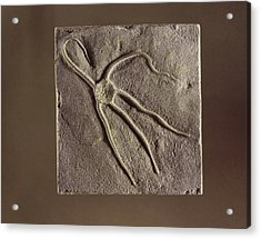 Brittle Star Fossil Acrylic Print by Science Photo Library