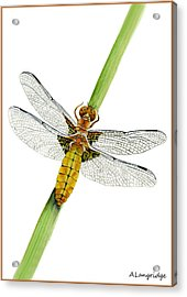 Broad-bodied Chaser Yellow Dragonfly Acrylic Print by Alison Langridge