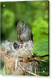 Broad-billed Hummingbird And Young Acrylic Print by Anthony Mercieca