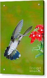 Broad-billed Hummingbird Acrylic Print by Anthony Mercieca