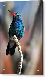 Acrylic Print featuring the photograph Broad-billed Hummingbird by Barbara Manis