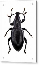Broad-nosed Weevil Acrylic Print