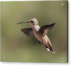 Broad-tailed Hummingbird 1 Acrylic Print