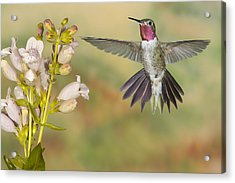 Broad Tailed Hummingbird 2 Acrylic Print
