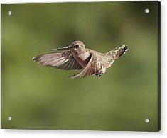 Broad-tailed Hummingbird 3 Acrylic Print