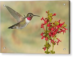Broad-tailed Hummingbird 5 Acrylic Print