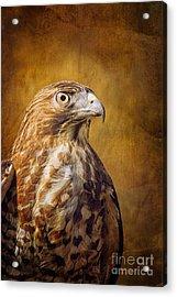 Broad Wing Hawk Acrylic Print by Todd Bielby