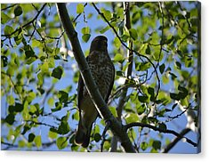 Acrylic Print featuring the photograph Broad-winged Hawk by James Petersen