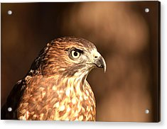 Broad-winged Hawk Acrylic Print