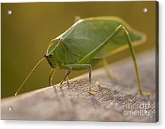 Broad-winged Katydid Acrylic Print by Meg Rousher
