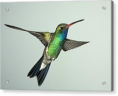 Broadbill Hummingbird Alternate Wing Pose Acrylic Print by Gregory Scott