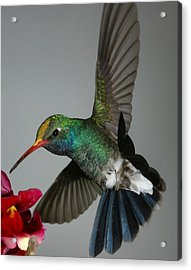 Broadbill Hummingbird With Pollen Cap Acrylic Print by Gregory Scott