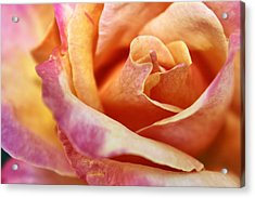 Acrylic Print featuring the photograph Broadway Hybrid Tea Rose by Jason Politte