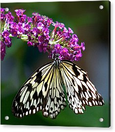 Broken Wing Of Black And White On Purple Acrylic Print by Karen Stephenson