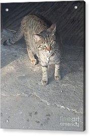 Bronx Kitten Acrylic Print