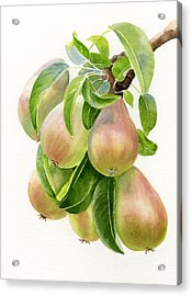 Bronze Pears With White Background Acrylic Print by Sharon Freeman