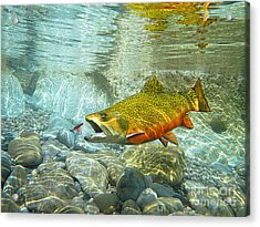 Brook Trout And Artificial Fly Acrylic Print