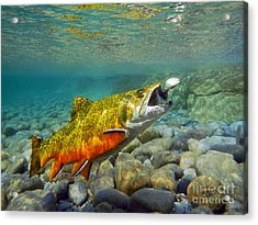 Brook Trout And Spinner Acrylic Print