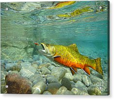 Brookie With Fly Acrylic Print