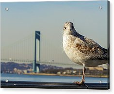 Brooklyn Seagull Acrylic Print by Jon Woodhams