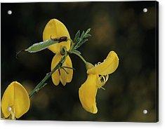 Broom Flowers Acrylic Print
