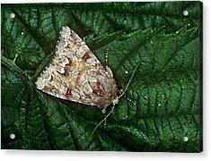 Broom Moth Acrylic Print