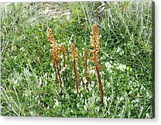 Broomrape On Clover Acrylic Print by Bob Gibbons