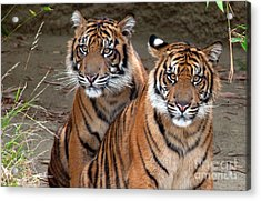 Brothers Acrylic Print by Dan Holm