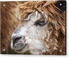 Brown Alpaca Acrylic Print by Graham Moore