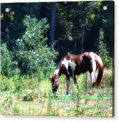 Brown And White Horse Grazing Acrylic Print