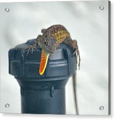 Brown Anole With Dewlap Acrylic Print by Richard Bryce and Family