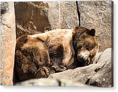 Brown Bear Asleep Again Acrylic Print by Chris Flees