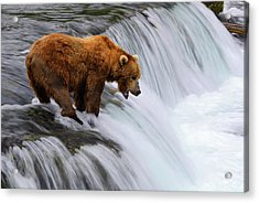 Brown Bear At Brooks Falls Acrylic Print by Naphat Photography