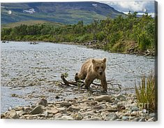 Brown Bear Cub Walking Up Stream Trying Keep Up With Mom Acrylic Print by Dan Friend