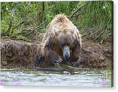 Brown Bear Diving Into The Water After The Salmon Acrylic Print by Dan Friend