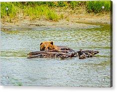 Brown Bear In Alaska Acrylic Print