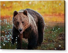Brown Bear In Forest, Finland Acrylic Print by Laurenepbath