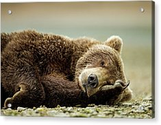 Brown Bear, Katmai National Park, Alaska Acrylic Print by Paul Souders