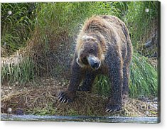 Brown Bear Shaking Water Off After An Unsucessful Salmon Dive Acrylic Print by Dan Friend