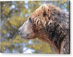 Brown Bear Smile Acrylic Print by Dan Sproul