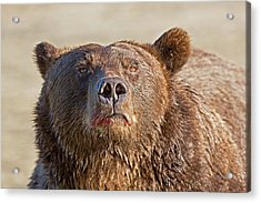 Brown Bear Sniffing Air Acrylic Print by John Devries