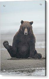 Brown Bear, Ursus Arctos, Sitting Acrylic Print