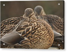 Acrylic Print featuring the photograph Brown Beauty  by Sabine Edrissi