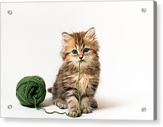 Brown Blue-eyed Kitten With Green Wool In Mouth Acrylic Print by Benjamin Torode