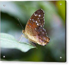 Brown Butterfly Acrylic Print