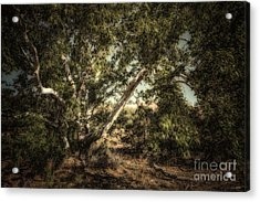 Brown Canyon Sycamore - Toned Acrylic Print by Al Andersen