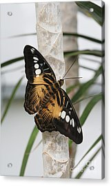 Brown Clipper Butterfly #2 Acrylic Print by Judy Whitton