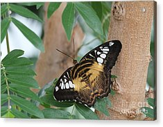 Acrylic Print featuring the photograph Brown Clipper Butterfly #5 by Judy Whitton